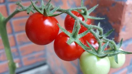 夫のトマト