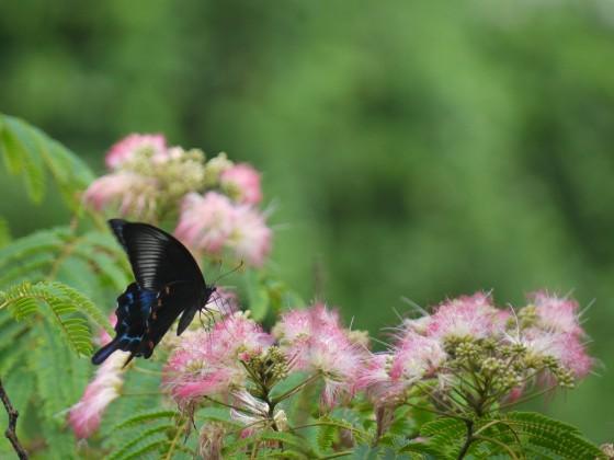 ネムノキの蜜を吸うミヤマカラスアゲハ