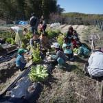野菜を収穫する